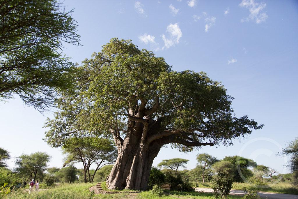 Amazing elephant tree