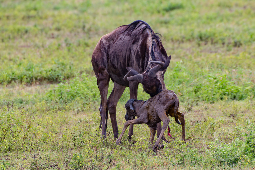 Newborn gnu trying to stand up