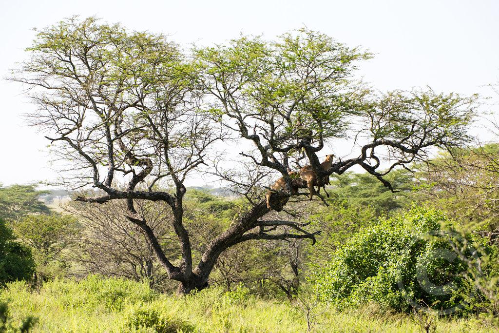 Tree full of lions