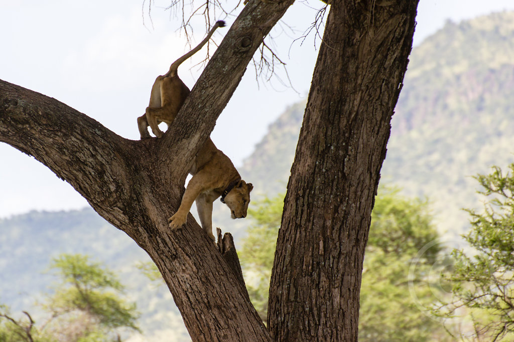 Lions are bad climber